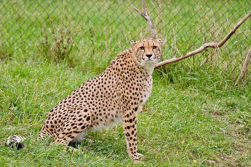 Gepard Bilder selbst gemacht