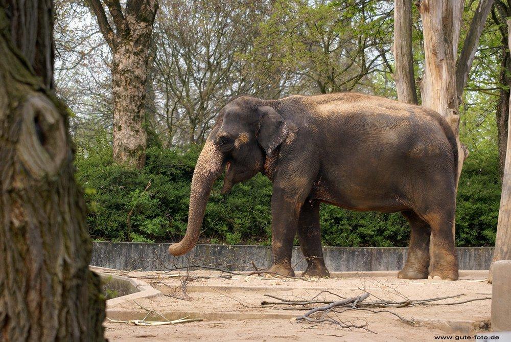 indischerelefant002